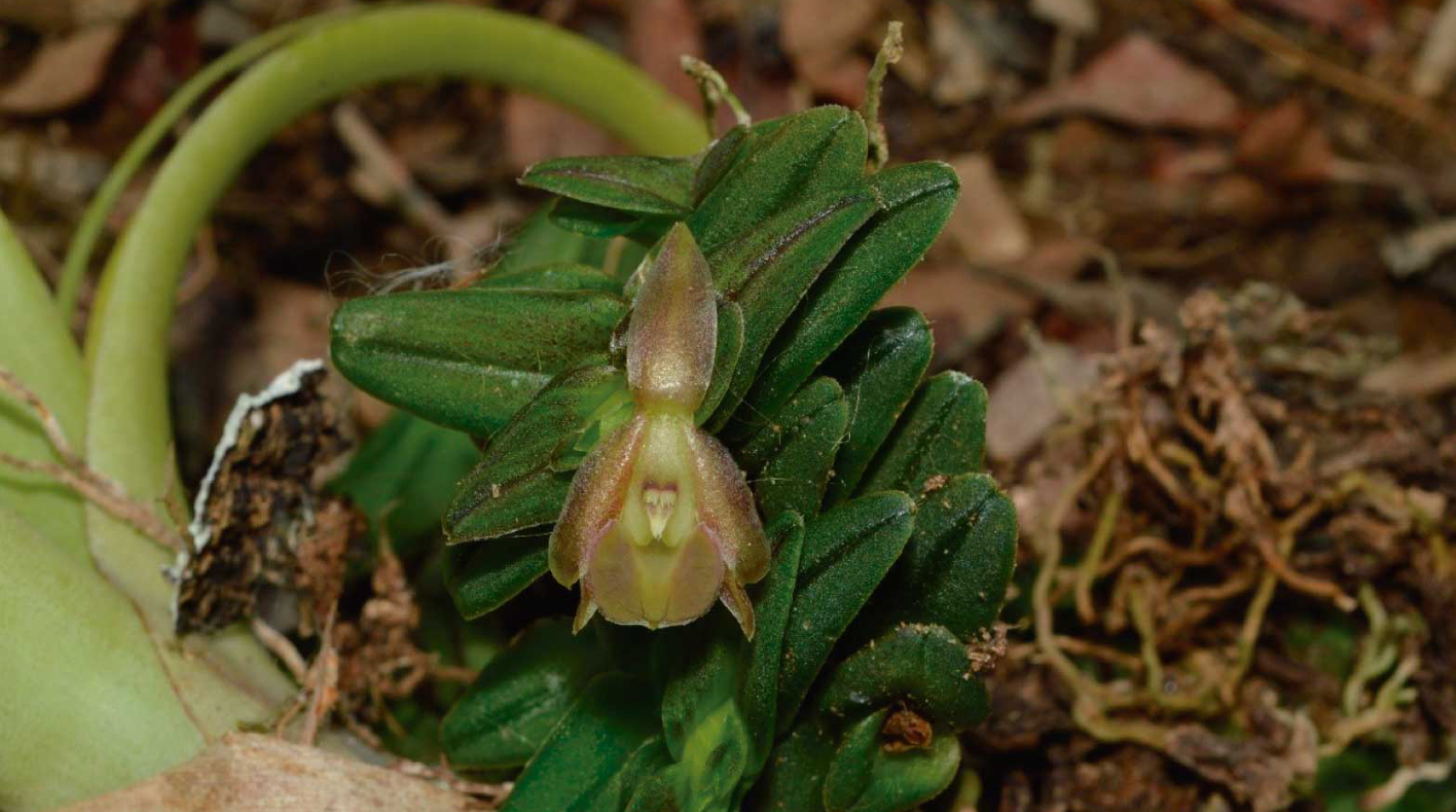 Nature gives us a new species of Orchid in Urabá!